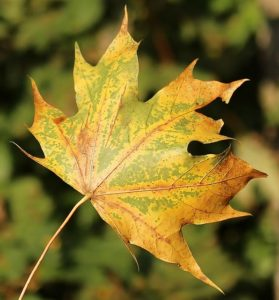 Leaves Leaf Maple Leaf Fall Color Autumn Forest